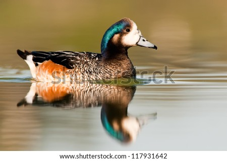 Southern Wigeon (Anas sibilatrix) swimming with reflection on water. Patagonia, Argentina, South America.