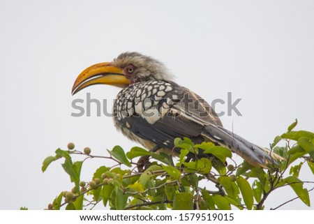 Southern Yellow billed horn-bill at a Nature Reserve in South Africa