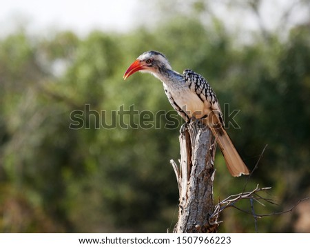 Southern Yellow Billed Horn-Bill (Tockus leucomelas) Perched on a Dead Branch