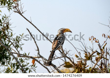 Southern yellow-billed hornbill (Tockus leucomelas). Kruger National park