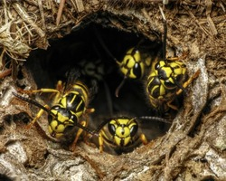 Southern Yellow Jackets (Vespula squamosa) at the entrance of Nest Hole in ground