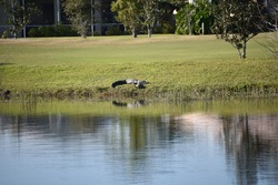 Southwest Florida alligator sunbathing golf course