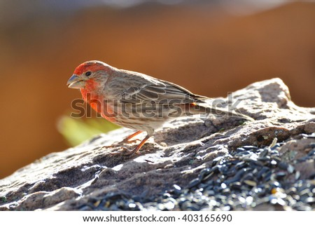 Southwest USA Beautiful Red Male House Finches Bright orange red on forehead, throat, and breast Brown back and wings Thick brown streaking thick grayish bill,shallow notch in its tail.