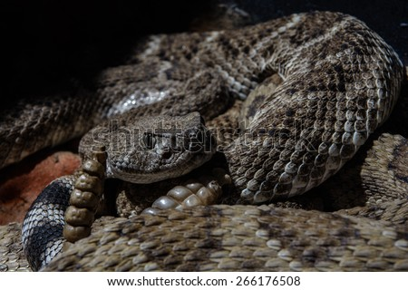 Southwestern Speckled Rattlesnake - Crotalus mitchellii pyrrhus curled up and ready to strike