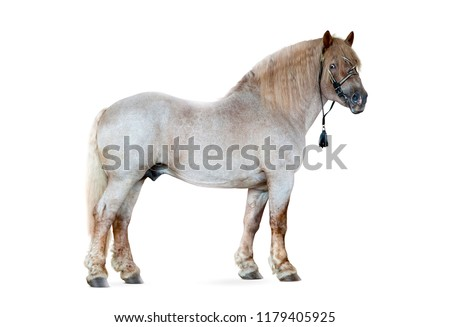 soviet draft horse isolated on white