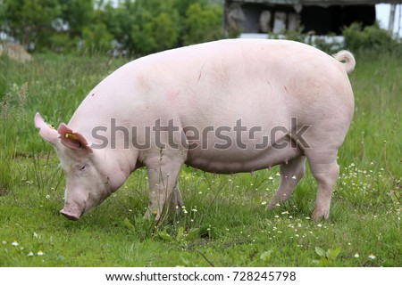 Sow posing for camera on green grass meadow rural animal farm #728245798