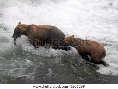 Sow provides salmon for cub, Katmai National Park