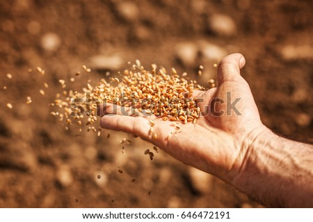 sower's hand with wheat seeds throwing to field #646472191