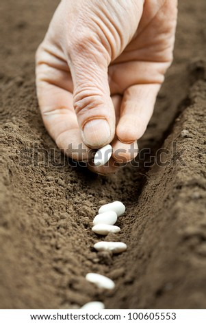 Sowing bean seeds