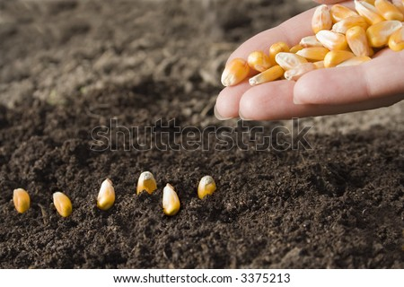 sowing maize