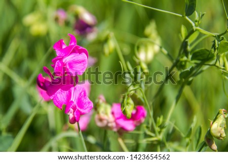 Sowing peas, or Vicia sowing. Vicia sativa. Pink flowers Common Vetch.