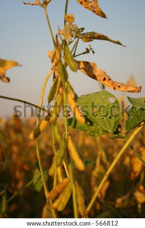 Soy Bean at Sunset - Three