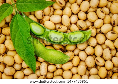 Soy bean, close up. Open green soybean pod on dry soy beans background. Soy bean mature seeds, top view