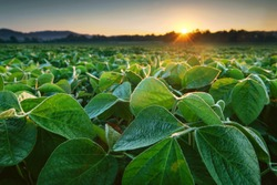 Soy field in early morning. Soy agriculture