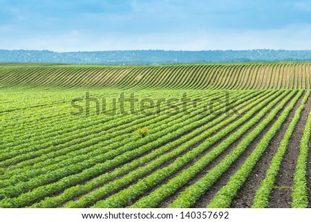 soy field with rows of soya bean plants