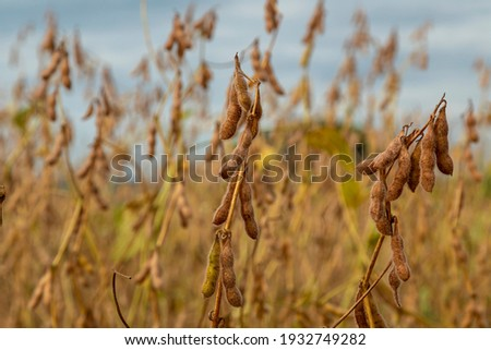 Soy plantation with dry grains, ready for harvest Foto d'archivio ©