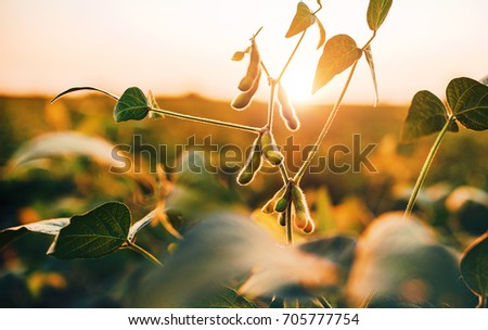 Soybean field at sunset Stock photo ©