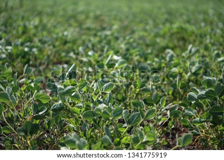 Soybean field at the beginning of summer. Drought and dehydrated plants. Vegetarian food soy. Stock background, photo #1341775919
