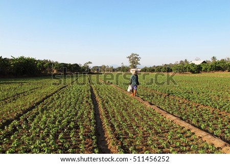 Soybean field in the North of Thailand by local farmer  #511456252