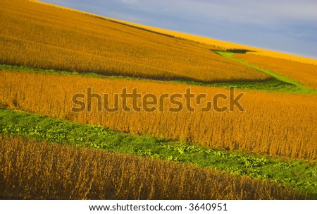 Soybean field  lit almost orange during sunset, with background of blue sky and some clouds.