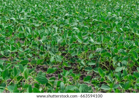 Soybean field on a sunny day in early summer #663594100