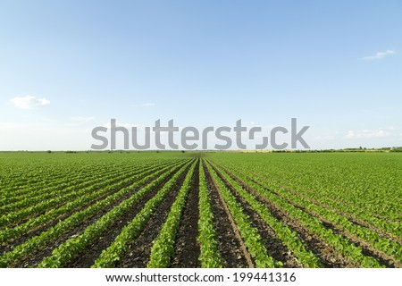 Soybean field ripening at spring season, agricultural landscape #199441316
