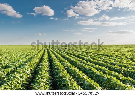 Soybean Field Rows #145598929