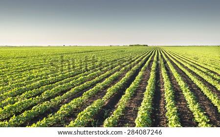 Soybean Field Rows in spring #284087246