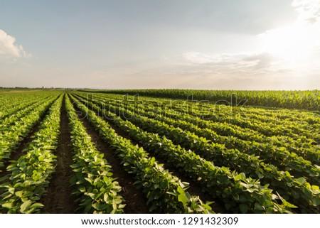 Soybean Field Rows in summer #1291432309