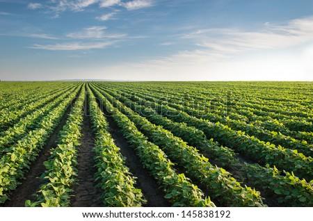 Soybean Field Rows in summer #145838192