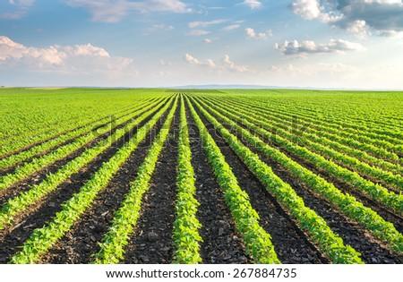 Soybean Field Rows in summer #267884735
