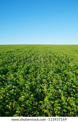 Soybean field with fresh soya with copy-space