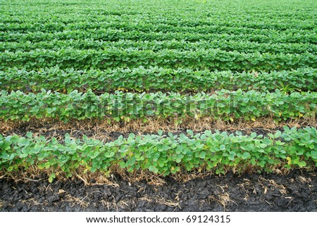 soybean field with horizontal rows of soya bean plants in dark wet soil