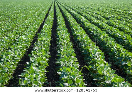 soybean field with rows of soya bean plants