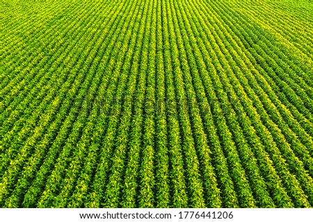 Soybean field with rows of soya bean plants. Aerial view. Agriculture in Austria Foto d'archivio ©