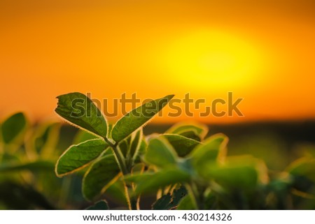Soybean plants in sunset, soy bean rows in agricultural field, selective focus
