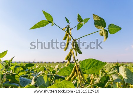 Soybean pods, close up.  Agricultural soy plantation on the sunny field bokeh background. Soy bean plant in sunny field . Green growing soybeans against sunlight