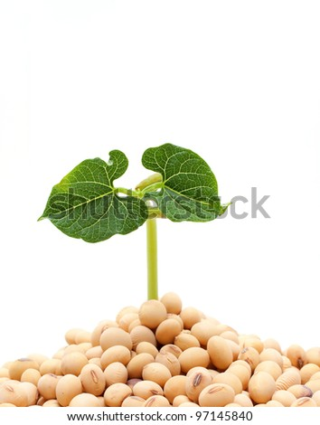 Soybean sprout isolated