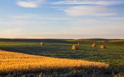 Soybeans growing in North Dakota field with hay and wheat