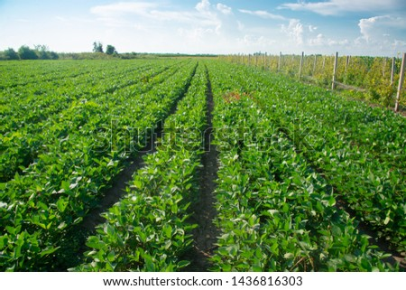 Soybeans on a sunny day #1436816303