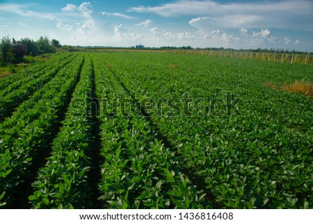 Soybeans on a sunny day #1436816408