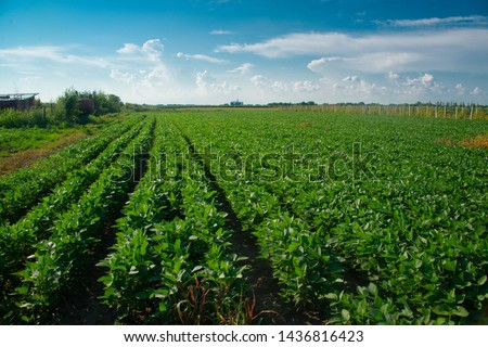 Soybeans on a sunny day #1436816423