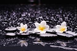 spa still life of three white frangipani, close up with black zen stones