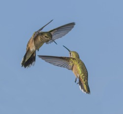 Space War - two rufous hummingbirds battle over ownership of the space around the food source. The rufous on the left challenges, defends and chases away a rufous hummingbird intruder.