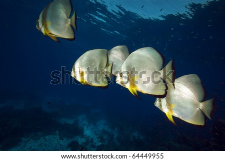 Spadefish in the Red Sea.