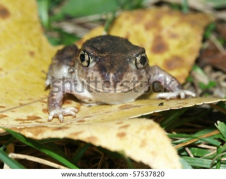 Spadefoot Toad (Scaphiopus holbrookii) - southern Illinois. - stock photo