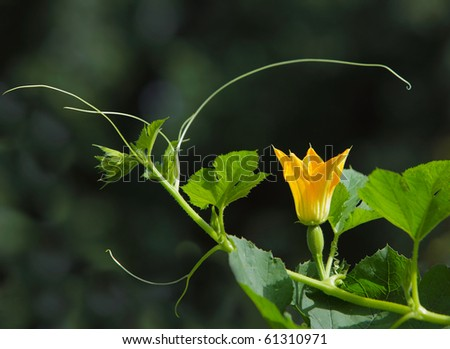 spaghetti squash Flower plant for natural background