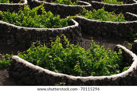 "Spain Canary Islands Lanzarote ""La Geria"" Vineyard detail - vines protected from elements by volcanic stone walls"