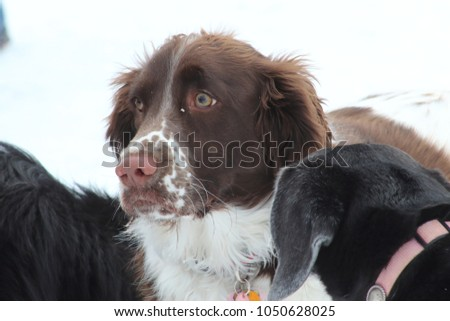 Spaniel being sniffed by another dog #1050628025