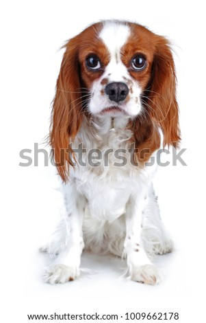 Spaniel dog puppy on white. Funny and cute cavalier king charles spaniel dog puppy on isolated white studio background for every concept.. #1009662178
